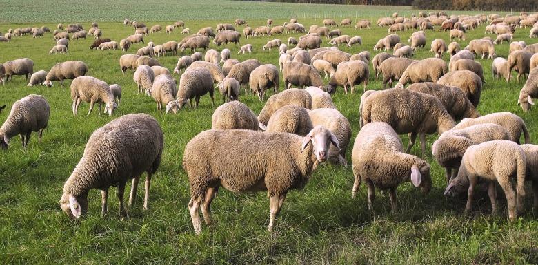 sheep-2859011_1920